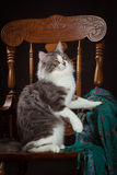 Purebred Siberian cat sitting on a chair Royalty Free Stock Images