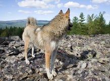 Purebred siberian husky Stock Image