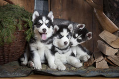 Purebred Siberian Husky puppies indoors Stock Image