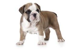 Purebred six weeks old English Bulldog puppy Royalty Free Stock Image