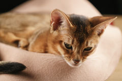 Purebred sleepy abyssinian kitten resting in hat Stock Photography