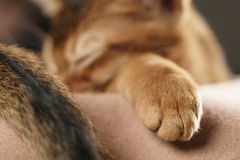 Purebred sleepy abyssinian kitten resting in hat Royalty Free Stock Photos