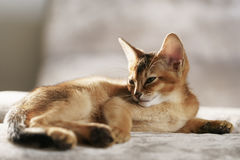 Purebred sleepy abyssinian kitten resting on sofa Royalty Free Stock Photo