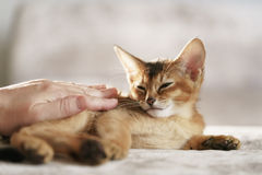 Purebred sleepy abyssinian kitten resting and stroked by hand Stock Photo