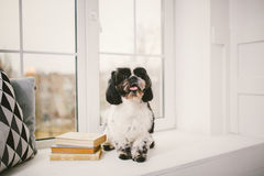 Purebred, small, fluffy dog Shih Tzu sitting in the window. In the white room stock image