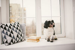 Purebred, small, fluffy dog Shih Tzu sitting in the window. In the white room stock photo
