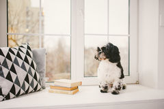 Purebred, small, fluffy dog Shih Tzu sitting in the window. In the white room stock images