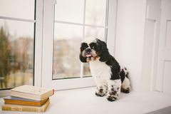Purebred, small, fluffy dog Shih Tzu sitting in the window. In the white room royalty free stock photos