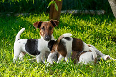 A purebred smooth-haired fox terrier, feeds her hungry puppies. Stock Image