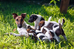 A purebred smooth-haired fox terrier, feeds her pups. The family Royalty Free Stock Photos