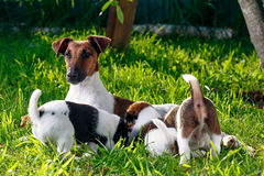 A purebred smooth-haired fox terrier, feeds her pups. The family Stock Photo