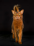Purebred Somali cat. Pedigree orange Somali cat photographed indoors in studio on black background Stock Photo