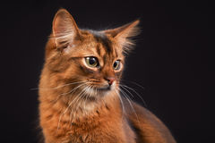Purebred Somali cat. Pedigree orange Somali cat photographed indoors in studio on black background Stock Image