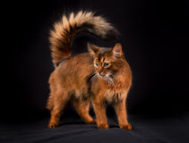 Purebred Somali cat Stock Images
