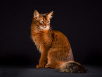 Purebred Somali cat. Pedigree orange Somali cat photographed indoors in studio on black background Stock Photography