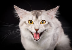 Purebred Somali cat. Pedigree white and grey Somali cat photographed indoors in studio on black background Stock Images