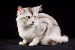 Purebred Somali cat. Pedigree white and grey Somali cat photographed indoors in studio on black background Royalty Free Stock Images