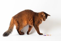 Somali cat ruddy color on white background. Purebred Somali cat ruddy color on white background playful royalty free stock images