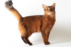Somali cat ruddy color on white background. Purebred Somali cat ruddy color on white background royalty free stock photos