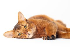 Somali cat ruddy color on white background. Purebred Somali cat ruddy color on white background royalty free stock image