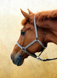 Purebred sorrel sportive stallion. Portrait in stable wall background Stock Photography