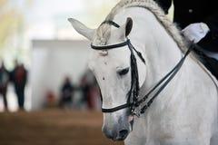Purebred Spanish horse Stock Image