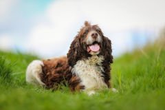 Purebred springer spaniel Stock Photos