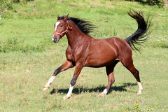 Purebred  stallion galloping on pasture summertime Stock Photos