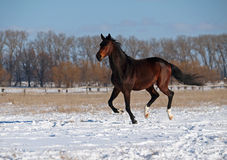 A purebred stallion gallops on snow. A purebred dark bay stallion gallops on snow field Royalty Free Stock Photography