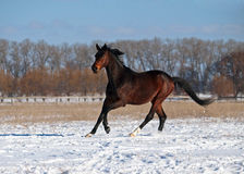 A purebred stallion gallops on snow Royalty Free Stock Photo