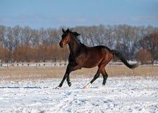 A purebred stallion gallops on snow. A purebred dark bay stallion gallops on snow field Royalty Free Stock Photo