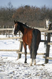 Purebred stallion looking back in winter paddock Stock Photos