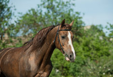 Purebred stallion Stock Image