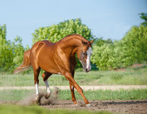 Purebred stallion playing Stock Photography