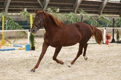 Purebred stallion runs alone in the riding hall stock images