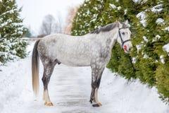 Purebred szary koń na tle zielone jodły Zdjęcia Royalty Free