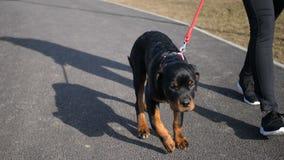 Purebred szczeniak Rottweiler chodzi z mężczyzna w parku zbiory wideo