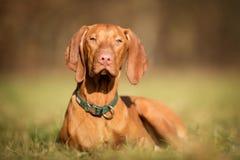 Purebred vizsla dog. Pedigree vizsla dog outdoors on grass field on a sunny spring day Stock Image