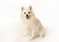 Purebred volpino italiano dog Royalty Free Stock Photography