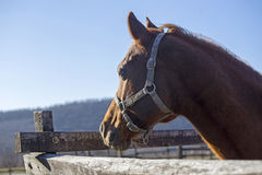 Purebred  warmblood stallion looking over fence on a cold winter Stock Photo