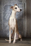 Purebred Whippet dog indoors Royalty Free Stock Images
