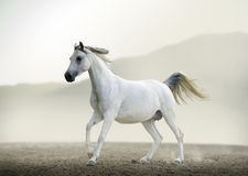 Purebred white arabian horse running in desert Royalty Free Stock Image