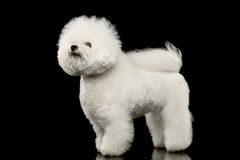 Purebred white Bichon Frise Dog Standing, Looking up isolated Black Royalty Free Stock Photos