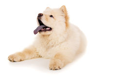 Purebred, white puppy chow chow Royalty Free Stock Photography