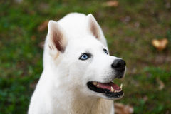 Purebred white siberian husky Stock Photo