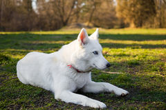 Purebred white siberian husky Royalty Free Stock Image