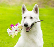 Purebred White Swiss Shepherd  with a flower in its mouth Stock Photos