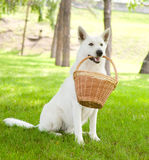 Purebred White Swiss Shepherd holding a basket in its mouth Royalty Free Stock Photos