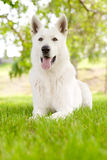 Purebred White Swiss Shepherd lying on the grass Royalty Free Stock Images
