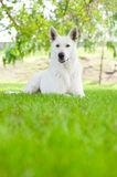 Purebred White Swiss Shepherd lying on the grass Stock Images